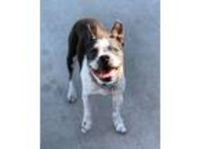 Adopt Harper a Black - with White Boston Terrier / Mixed dog in Irving