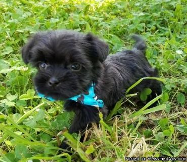 Shorkie Tzu Puppies for Sale