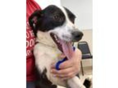 Adopt Audrey a Black - with White Border Collie / Mixed dog in Heathsville