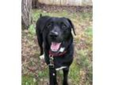 Adopt Moni *LOCAL* MEET ME! a Labrador Retriever
