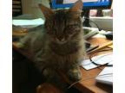 Adopt Maple and kittens a Maine Coon, Domestic Medium Hair