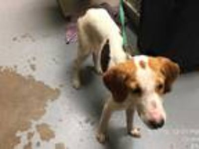 Adopt *SHILOH a Tricolor (Tan/Brown & Black & White) Hound (Unknown Type) /