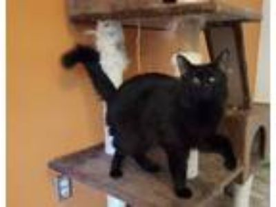 Adopt Mr Magoo a Domestic Medium Hair
