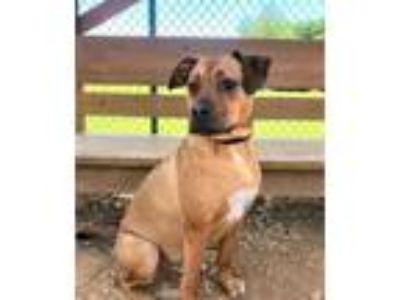 Adopt OWEN a Boxer / Shepherd (Unknown Type) / Mixed dog in Franklin