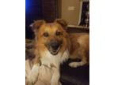 Adopt Bozeman a Tan/Yellow/Fawn - with White Border Collie / Mixed dog in