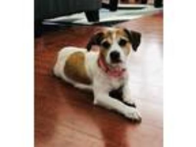 Adopt Dani a Jack Russell Terrier