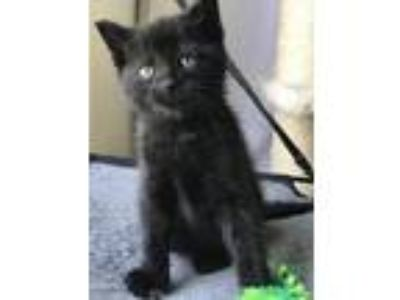 Adopt Homer a Black (Mostly) Domestic Shorthair / Mixed (short coat) cat in East