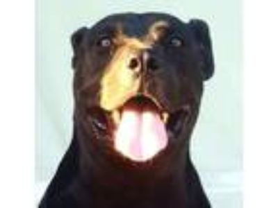 Adopt TURBO a Black American Pit Bull Terrier / Mixed dog in Sacramento