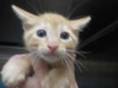 Adopt a Orange or Red Domestic Shorthair / Mixed (short coat) cat in Temple