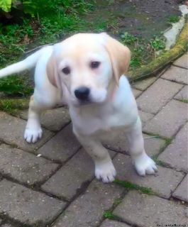Sweet Female Golden Retriever Puppy For Adoption