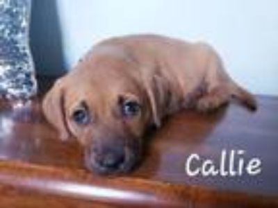 Adopt Callie a Miniature Pinscher, Black Mouth Cur