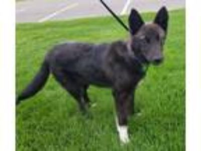 Adopt Duffy a Border Collie, Labrador Retriever