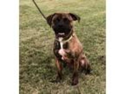 Adopt Toby a Brindle Boxer / Mixed dog in Dayton, OH (22521403)