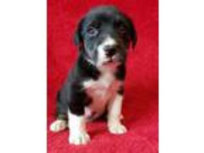 Adopt Townsend a Border Collie, Labrador Retriever