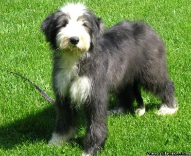 Bearded Collie Puppies for Sale