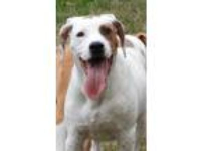 Adopt Lamar a White - with Red, Golden, Orange or Chestnut Boxer / Treeing