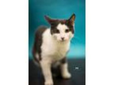 Adopt Mittens Brownplus 0618 a Domestic Short Hair