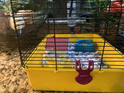 2 Dwarf Hamsters and Full Accessories (food, bedding, buildable cage) - fun to watch