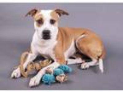 Adopt Piper - terrier a Terrier, Pit Bull Terrier