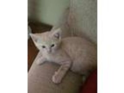 Adopt Max KITTEN a Orange or Red (Mostly) Domestic Shorthair / Mixed (short