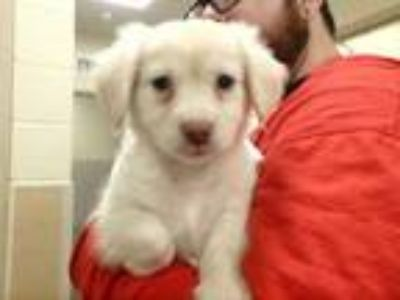 Adopt Neville a White Retriever (Unknown Type) / Mixed dog in Honolulu