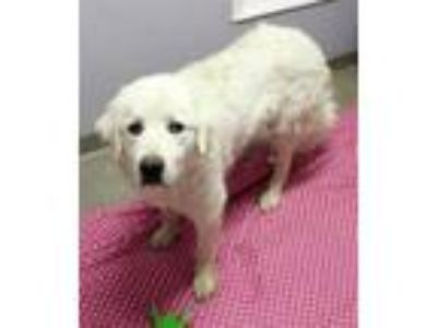 Adopt Rigley a White Great Pyrenees / Mixed dog in South Elgin, IL (25304770)