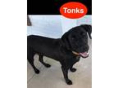 Adopt Tonks a Labrador Retriever