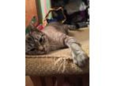 Adopt Niddia a Tiger Striped American Shorthair cat in Medina, NY (25473307)