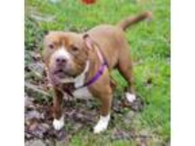 Adopt Stryker - APPLICATIONS CLOSED a Pit Bull Terrier