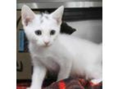 Adopt Ygor a White Domestic Shorthair / Domestic Shorthair / Mixed cat in St.