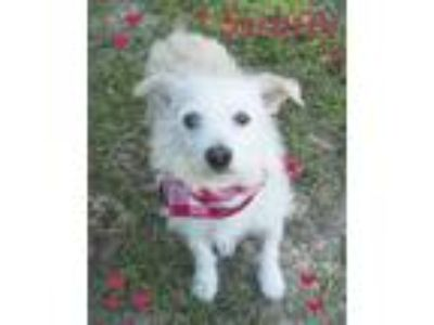 Adopt Scruufy a Wirehaired Terrier
