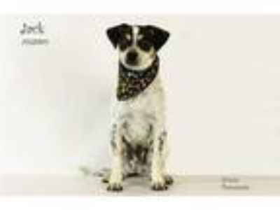 Adopt Dog a Tricolor (Tan/Brown & Black & White) Jack Russell Terrier / Mixed