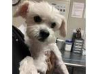 Adopt Wagner a White - with Tan, Yellow or Fawn Lhasa Apso dog in Yuma