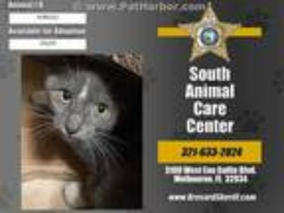 Adopt GARTH a Gray or Blue (Mostly) Domestic Shorthair / Mixed (short coat) cat