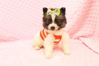 $2,500, New Litters Of Teacup Pomeranian Puppies