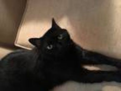 Adopt Freya (aka Kitty) a All Black American Shorthair cat in East Point