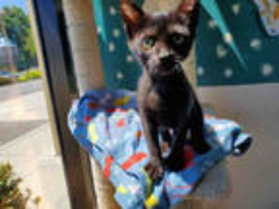 Adopt PEPE a All Black Domestic Shorthair / Mixed (short coat) cat in Santa