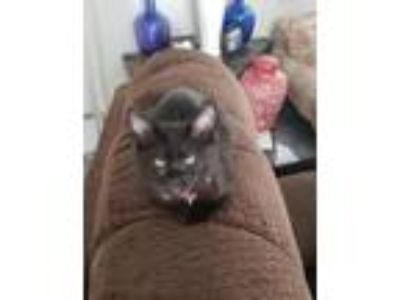 Adopt Rouge Weber a Domestic Short Hair