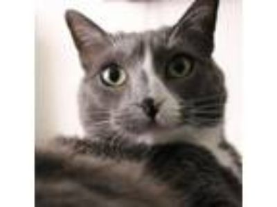 Adopt Abby [CP] a Gray or Blue (Mostly) American Shorthair / Mixed (short coat)