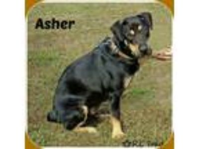 Adopt ASHER a Black - with Tan, Yellow or Fawn Rottweiler / Basset Hound / Mixed
