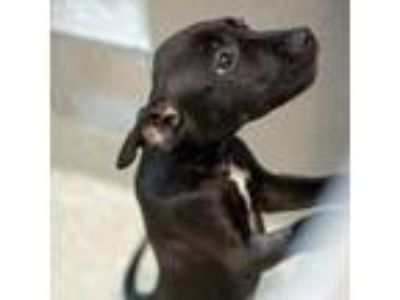 Adopt Yuengling a Black Retriever (Unknown Type) / Mixed dog in Washington