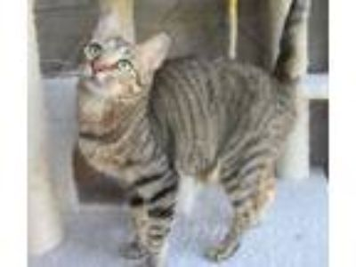 Adopt Shiner a Brown Tabby Domestic Shorthair (short coat) cat in Seguin