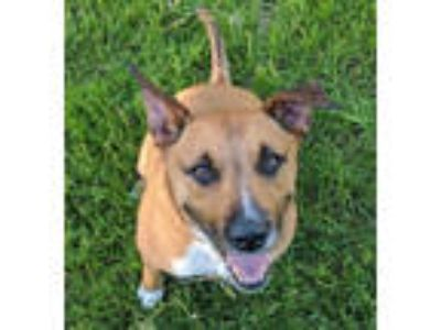 Adopt Taylor a Black Mouth Cur, Boxer