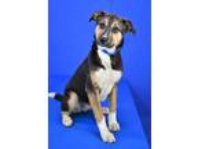 Adopt (Found) Meadow a Black Beagle / Mixed dog in Cabot, AR (25267670)