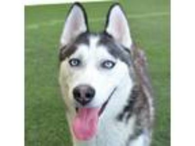Adopt Pepper a Black - with White Siberian Husky / Mixed dog in Burlingame