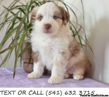 Amazing$!*Australian Shepherd Puppies For Sale