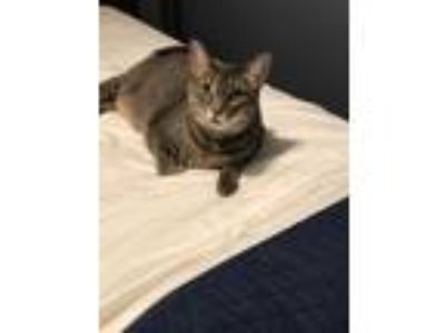 Adopt Jase a Gray, Blue or Silver Tabby Domestic Shorthair / Mixed cat in