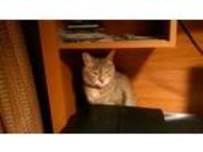 Adopt Hunter a Domestic Short Hair, Tortoiseshell