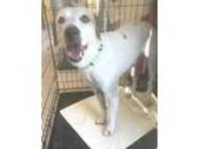 Adopt SIBILLY a White Terrier (Unknown Type, Small) / Mixed dog in St.
