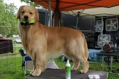 Golden Retriever Puppies From Champion Lines
